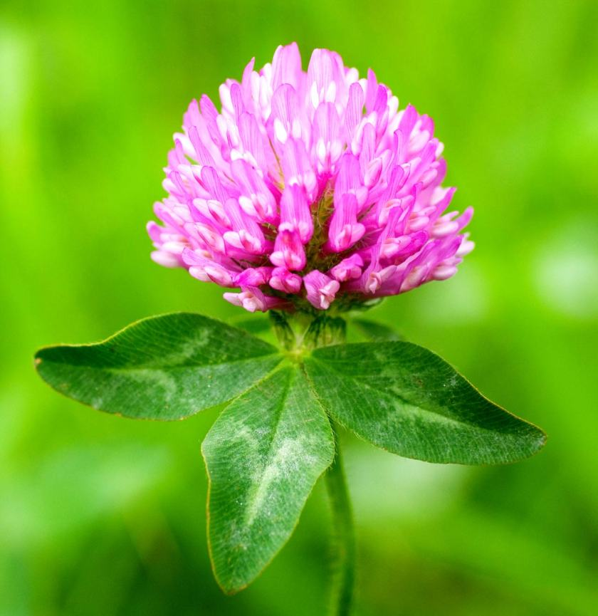 trifoglio con fiore